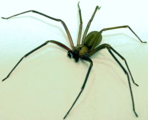 30669269-734px-Brown-recluse-2-edit